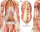 Bild für Kategorie Anatomie